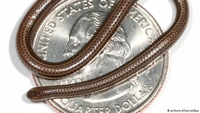 Esta serpiente tiene apenas unos diez centímetros de largo. La Tetracheilostoma Carlae es tan gruesa como un spaguetti, come termitas, hormigas y larvas. Su hábitat está en la isla caribeña de Barbados.