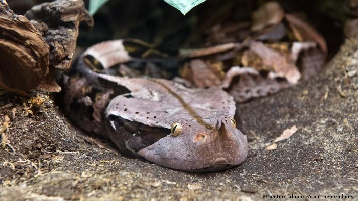 gaboon viper (picture-alliance/dpa Themendienst)