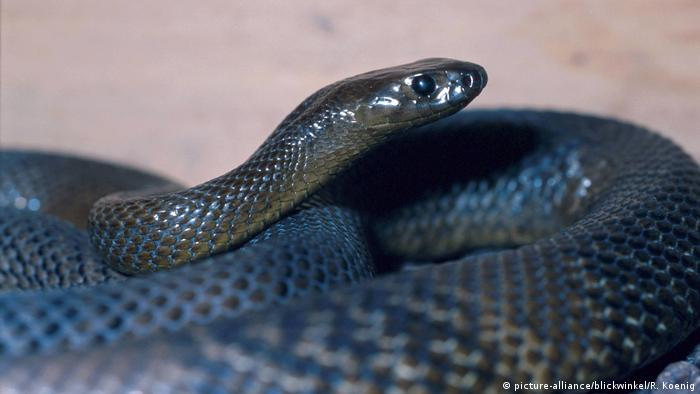 inland taipan (picture-alliance/blickwinkel/R. Koenig)