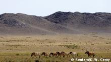 Mongolei Auswilderung von Przewalski-Pferden (Reuters/D. W. Cerny)