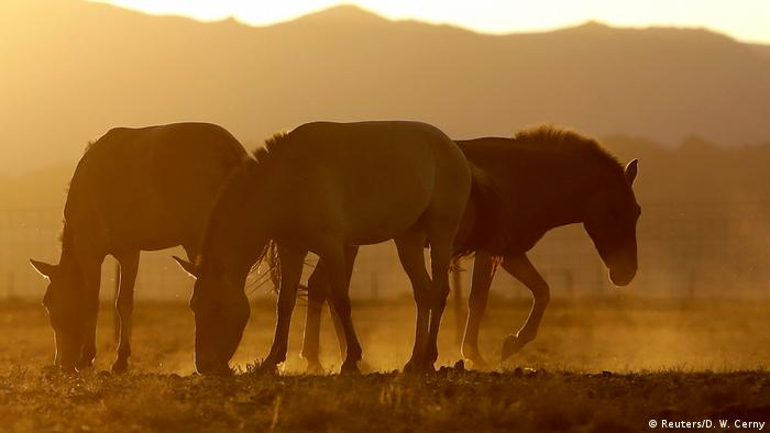 All the wild horses are extinct: study