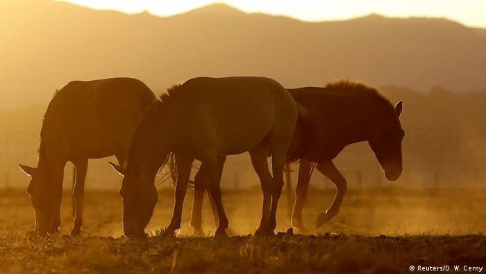 Mongolei Auswilderung von Przewalski-Pferden
