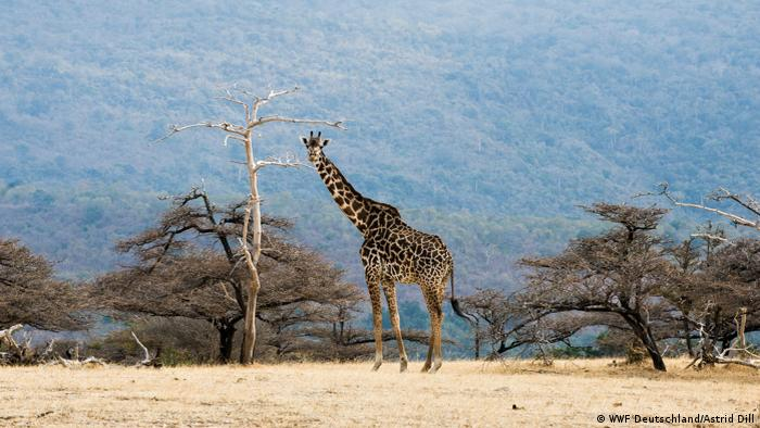 A giraffe standing beside a tree.