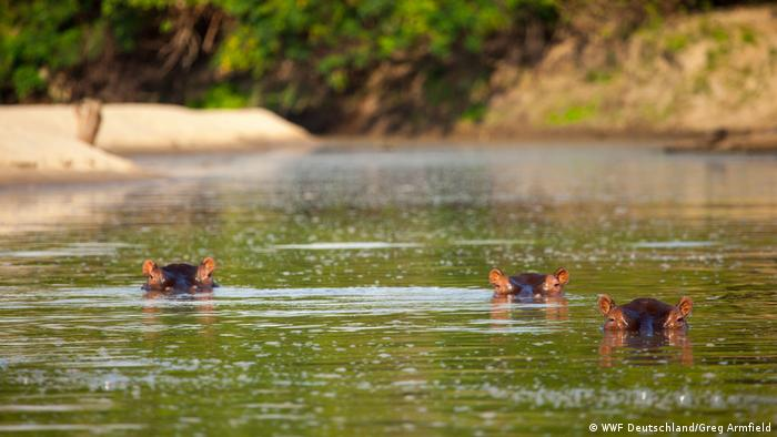 Three hippos in the river.