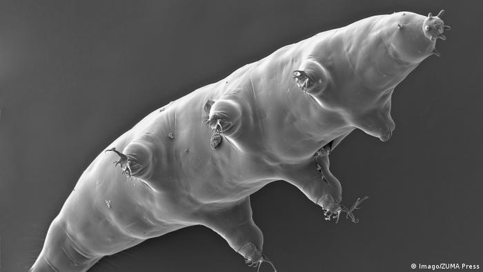 Bärtierchen Tardigrades (Imago/ZUMA Press)