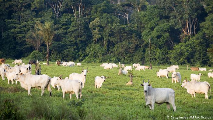 Cattle at an illegal settlement in the Jamanxim National Forest in Brazil