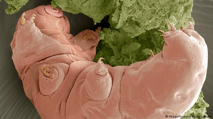 A close-up electron image of the micro-sized tartigrade. It is light pink in color with short stubbly legs protruding from a fat body