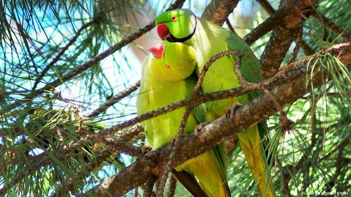 Photo of a pair of rose-ringed parakeets