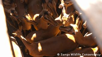 Mosambik Impalas und Kudus im LKW