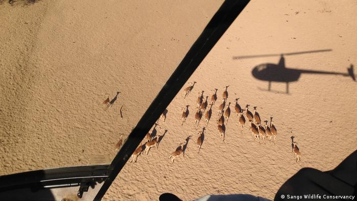 Mosambik Impalas und Kudus Tiere werden gefangen