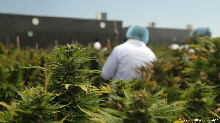 Uruguay verkauft Marihuana in Apotheken (picture alliance/dpa/ICC)