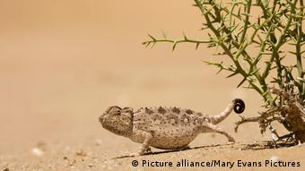 chameleon and a Nara plant (Picture alliance/Mary Evans Pictures)