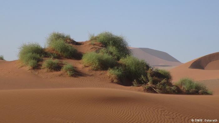 Nara plant in the Namib desert