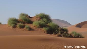 Nara-Pflanze in der Namib-Wüste
