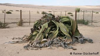 Giant Welwitschia