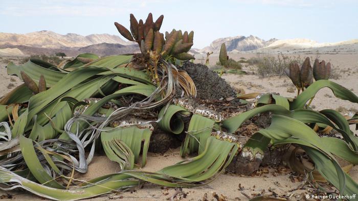 Welwitschia mirabilis in the Namib