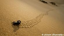 Parabuthus Scorpion - leaving tracks up a dune at sunset (picture alliance/dpa)