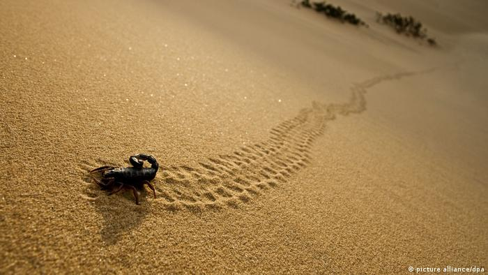 Parabuthus Scorpion - leaving tracks up a dune at sunset