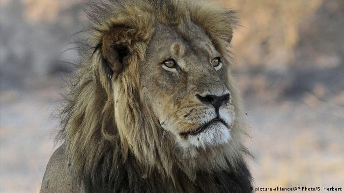 Zimbabwe Cecil der Löwe