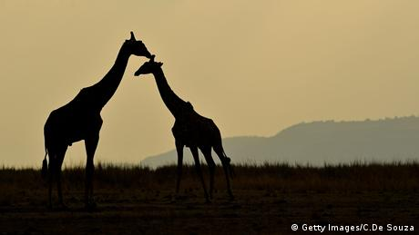 Giraffe. Photo credit: Getty Images/C.De Souza.