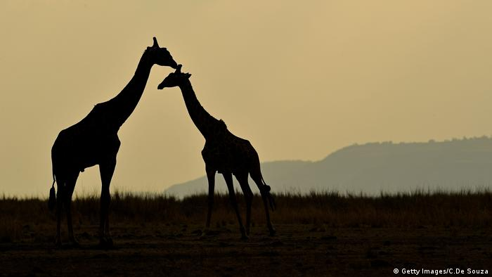 Giraffes stand together during the annual wildebeest migration (Getty Images/C.De Souza)
