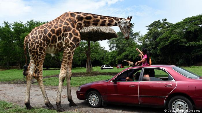 Giraffe (Getty Images/J.Ordonez)
