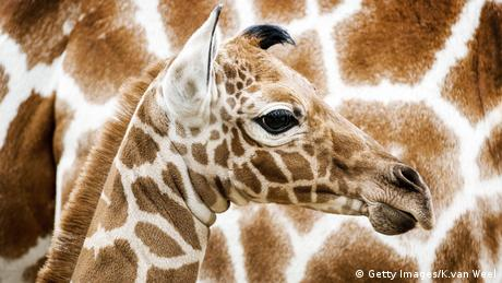 Giraffe. Photo credit: Getty Images/K.van Weel.