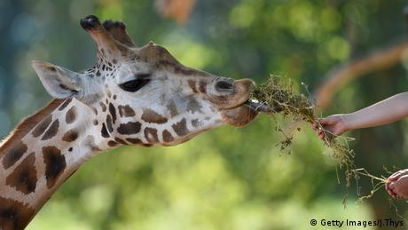 Giraffe. Photo credit: Getty Images/J.Thys.