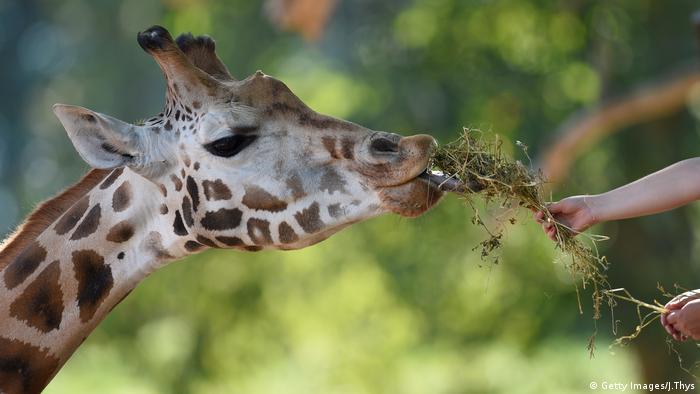 Giraffe. Photo credit: Getty Images/J.Thys.