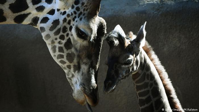 Giraffe. Photo credit: Getty Images/M.Ralston