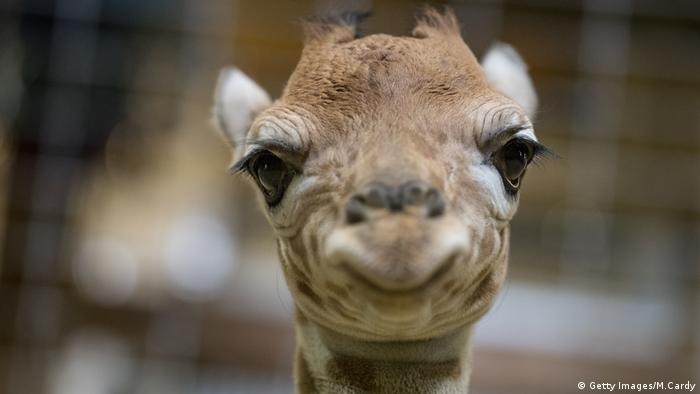 Giraffe. Photo credit: Getty Images/M.Cardy.