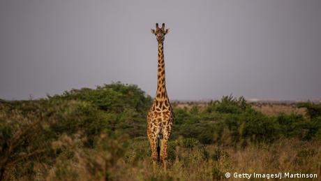 Giraffe. Photo credit: Getty Images/J.Martinson.