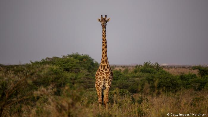 Giraffe. Photo credit: Getty Images/J.Martinson.