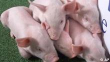 Five cloned piglets huddle at PPL Therapeutics prior to a news conference Wednesday, Jan. 2, 2002 in Blacksburg, Va. PPL Therapeutics has cloned five piglets that were genetically engineered to make their organs more suitable for human transplants, company officials said. (AP Photo/Roanoke Times, Gene Dalton).