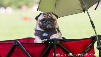 a pug under an umbrella