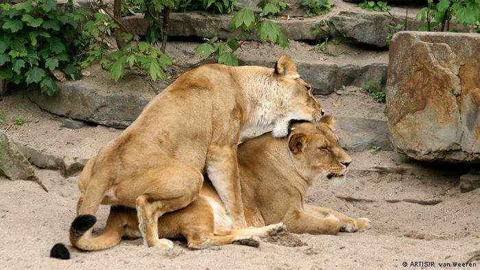 Lions (ARTIS/R. van Weeren)