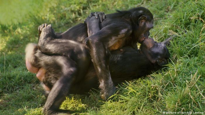 Weibliche Bonobos beim Sex (picture-alliance/F. Lanting)
