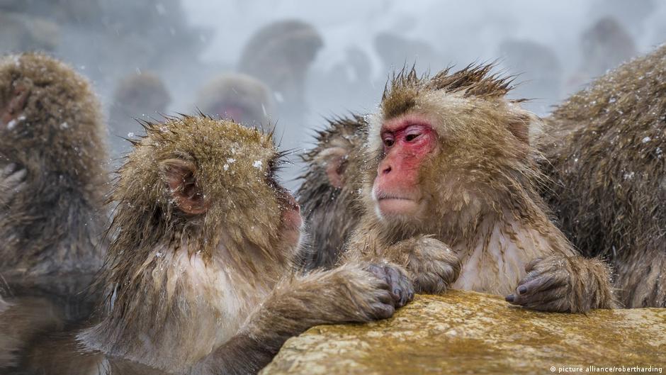 دراسة: تشابه القرود مع البشر في نمط التفكير أكثر مما كان يعتقد | DW | 11.07.2020