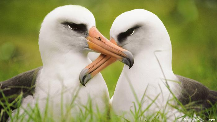 Layson albatrosses (imago/Mint Images)