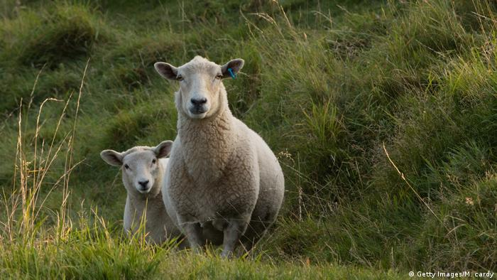 Domestic sheep (Getty Images/M. cardy)
