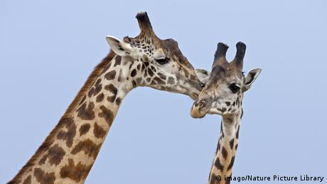 Giraffes (imago/Nature Picture Library)