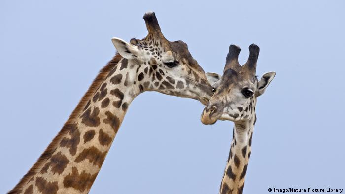 Giraffen (imago/Nature Picture Library)