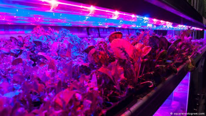 USA New York Urban Farming (squarerootsgrow.com)