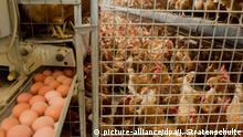 ARCHIV- Legehennen, aufgenommen am 10.09.2014. Das in Millionen verseuchten Eiern gefundene Insektizid Fipronil soll auch in mindestens vier deutschen Legehennen-Betrieben als Reinigungsmittel genutzt worden sein. (zu dpa Insektizid Fipronil auch in deutschen Eier-Betrieben genutzt vom 02.08.2017) Foto: Julian Stratenschulte/dpa +++(c) dpa - Bildfunk+++   Verwendung weltweit