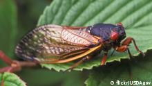 Photo: Periodical Cicada on a leaf (Source: flickr/USDAgov)