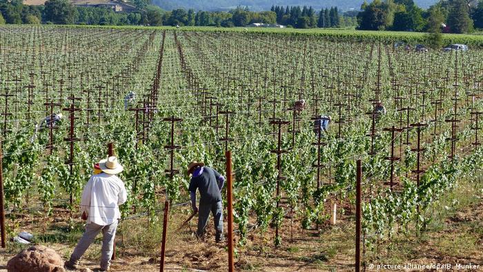 USA Kalifornien Wein- und Marihuana-Anbau (picture-alliance/dpa/B. Munker)