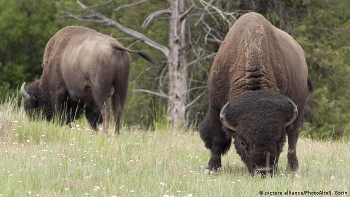 USA - Bisons in Montana (picture alliance/PhotoAlto/J. Gorin)