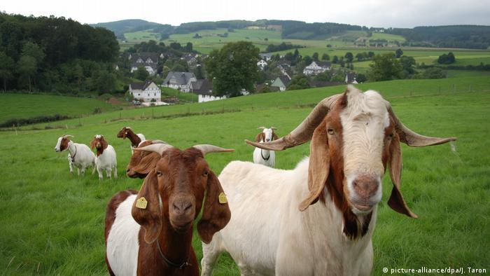 U Njemačkoj koze imaju trave do mile volje, one u Nairobiju nisu te sreće
