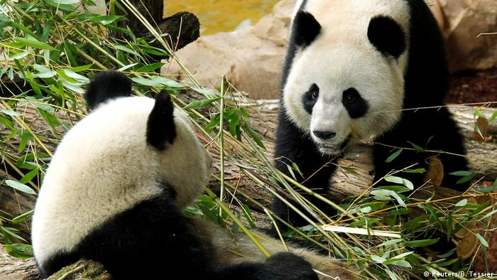 Pandas from a zoo in Saint-Aignan in France