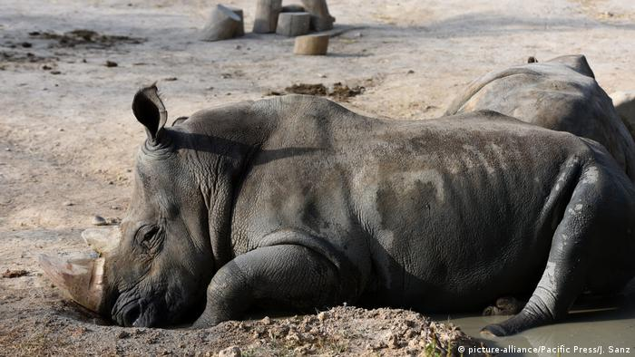 White rhinoceros (Ceratotherium simum) pictured cooling off with water at Madrid zoo, June 22 (picture-alliance/Pacific Press/J. Sanz)